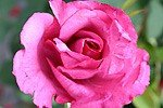 Picture of the rose 'Lila Wunder' (Hybrid Tea)
