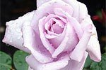 Picture of the rose 'Mainzer Fastnacht' (Hybrid Tea)