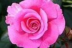 Picture of the rose 'Princess Alexandra' (Hybrid Tea)