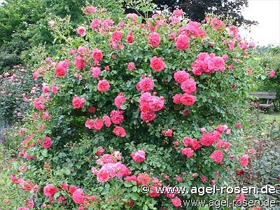 rosarium uetersen kletterrose kaufen bei agel rosen. Black Bedroom Furniture Sets. Home Design Ideas