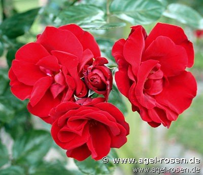 rose santana online kaufen agel rosen 5 liter topf. Black Bedroom Furniture Sets. Home Design Ideas