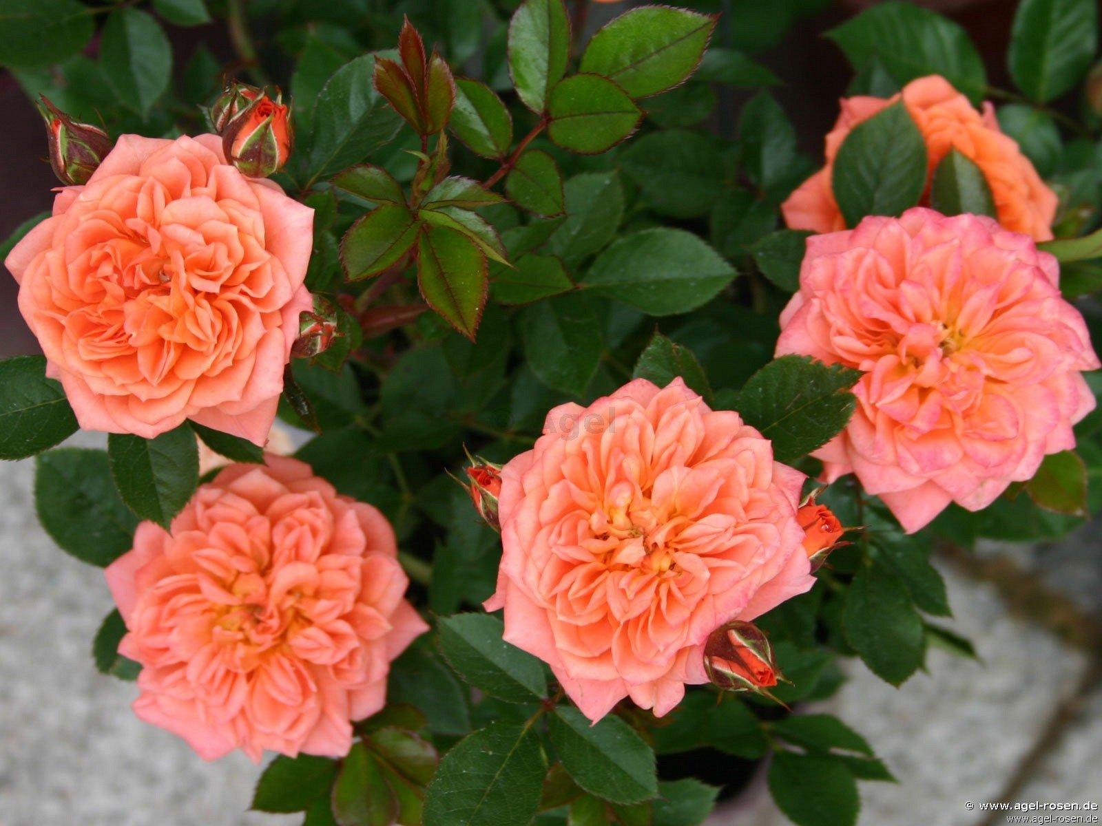 buy rose ninetta online at agel rosen 3 liter pot container roses. Black Bedroom Furniture Sets. Home Design Ideas
