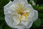 Picture of the rose 'Albéric Barbier' (Rambler)