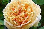 Picture of the rose 'Alchymist' (Rambler)