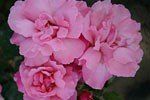 Picture of the rose 'Alexandre Girault' (Rambler)