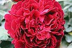 Picture of the rose 'Alfred Colomb' (Remontant Rose)