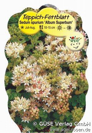 teppich sedum bei agel rosen online kaufen sedum spurium. Black Bedroom Furniture Sets. Home Design Ideas