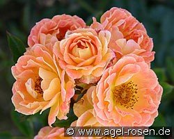 Picture of the rose 'Bessy' (Shrub Rose)