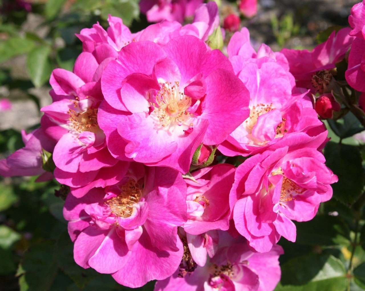 Picture of the rose 'Global Water' (Shrub Rose)