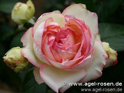 Rose 'Biedermeier' (wurzelnackte Rose)