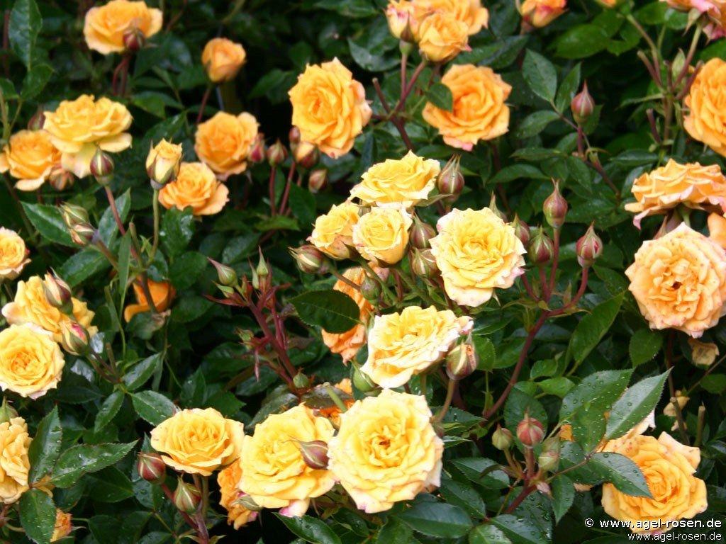 rose yellow clementine online kaufen agel rosen 3. Black Bedroom Furniture Sets. Home Design Ideas