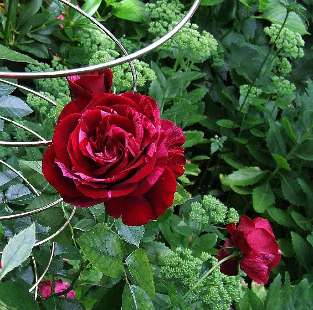 rose deep impression online kaufen agel rosen. Black Bedroom Furniture Sets. Home Design Ideas