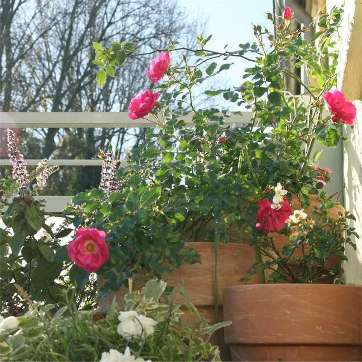 rose noatraum online kaufen agel rosen hochstammrosen. Black Bedroom Furniture Sets. Home Design Ideas