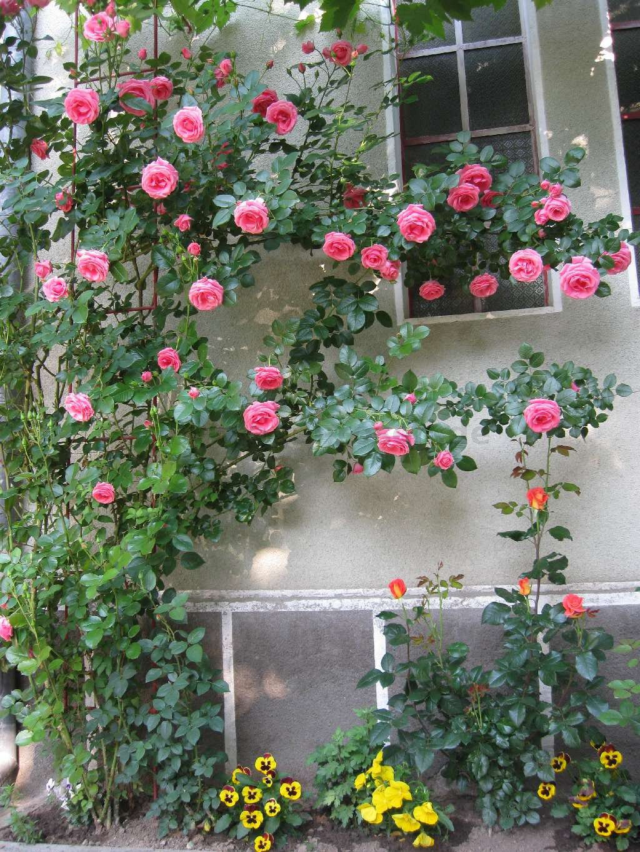 Types Of Flower Arrangements Lawinia 174 Climbing Rose Buy At Agel Rosen
