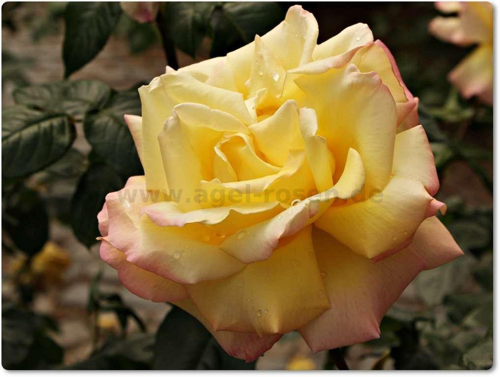 rose gloria dei online kaufen agel rosen hochstammrosen 90cm im 5l topf containerrosen. Black Bedroom Furniture Sets. Home Design Ideas