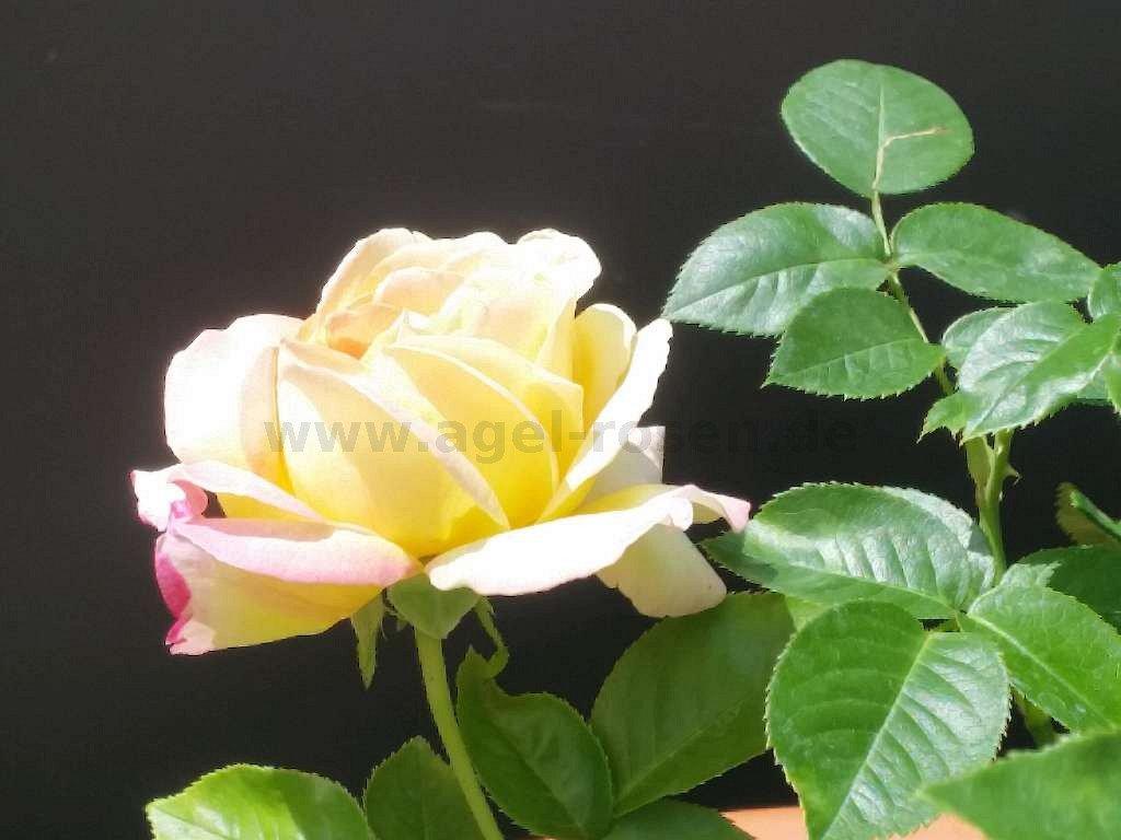 rose gloria dei online kaufen agel rosen hochstammrosen 90cm stammrosen. Black Bedroom Furniture Sets. Home Design Ideas