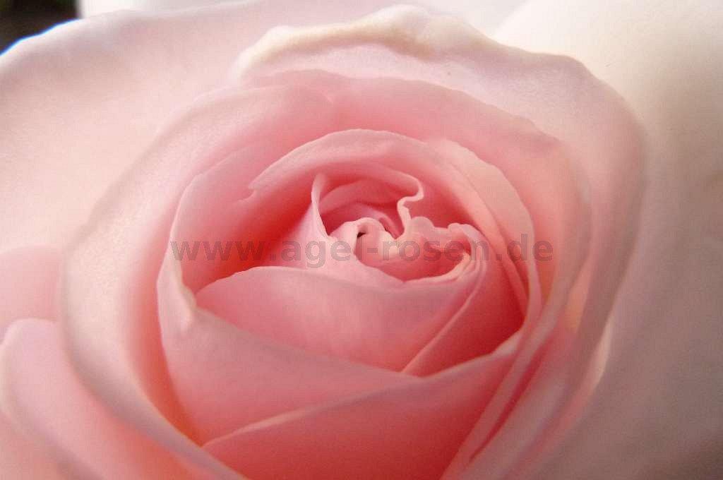 rose schlo ippenburg online kaufen agel rosen 3. Black Bedroom Furniture Sets. Home Design Ideas