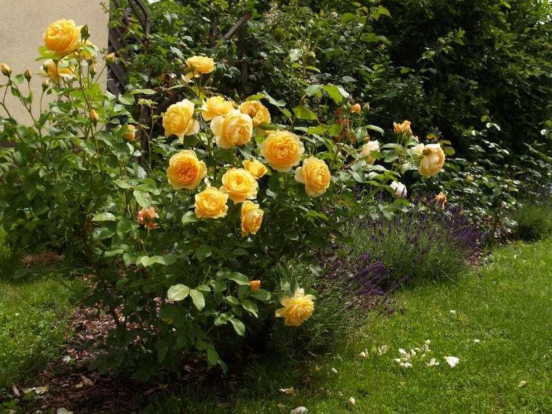 rose ausmas online kaufen agel rosen hochstammrosen. Black Bedroom Furniture Sets. Home Design Ideas