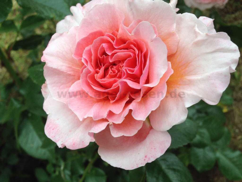 buy rose marie curie online at agel rosen 5 liter pot. Black Bedroom Furniture Sets. Home Design Ideas