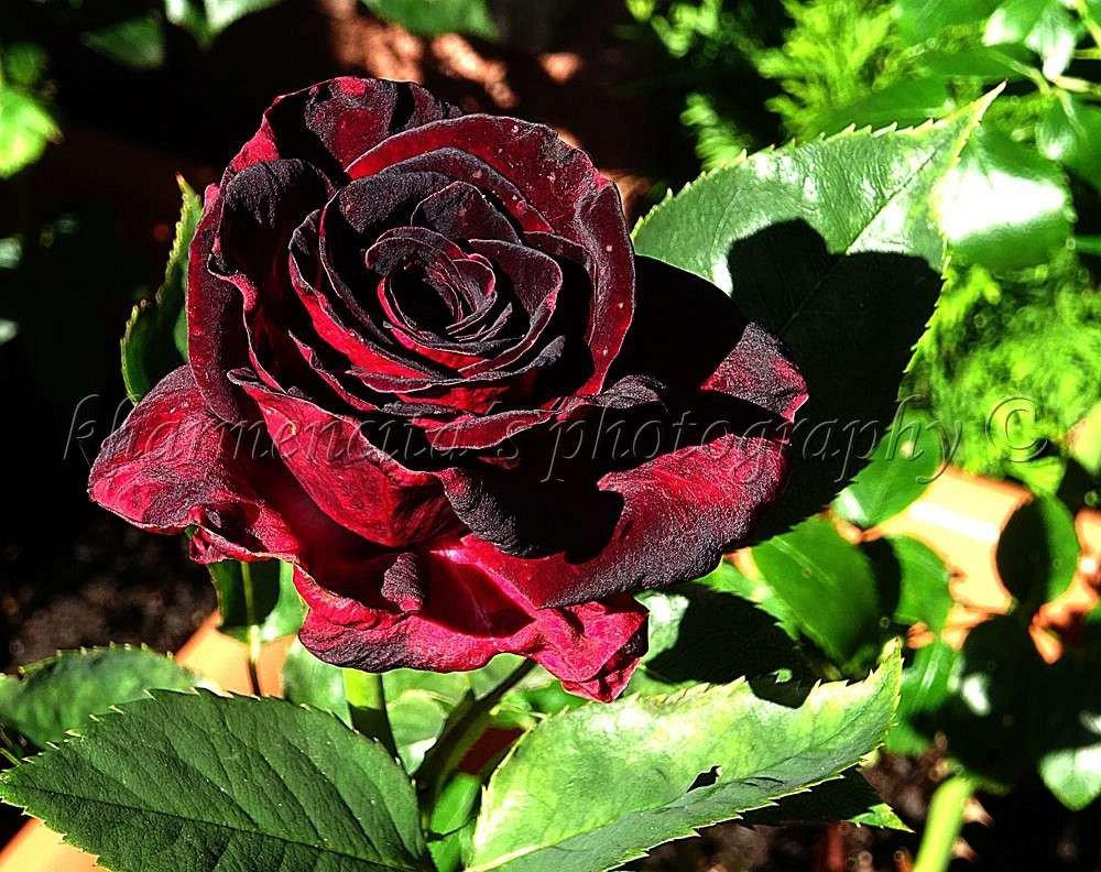 black baccara hybrid tea buy at agel rosen. Black Bedroom Furniture Sets. Home Design Ideas