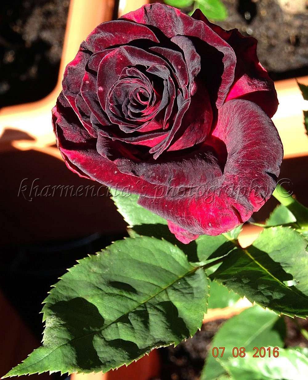 buy rose black baccara online at agel rosen tree roses. Black Bedroom Furniture Sets. Home Design Ideas