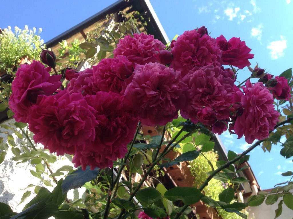 rose laguna online kaufen agel rosen hochstammrosen. Black Bedroom Furniture Sets. Home Design Ideas