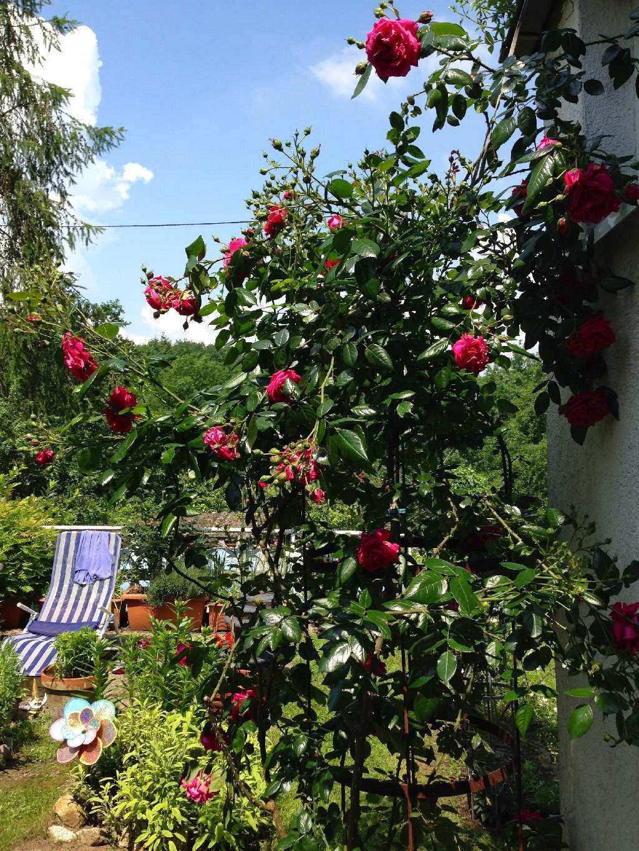 rose laguna online kaufen agel rosen hochstammrosen 90cm im 5l topf containerrosen. Black Bedroom Furniture Sets. Home Design Ideas