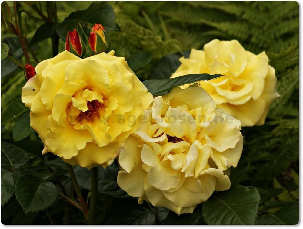 lichtk nigin lucia shrub rose buy at agel rosen. Black Bedroom Furniture Sets. Home Design Ideas