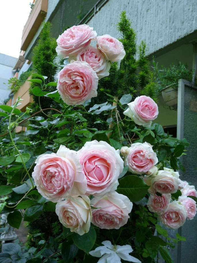 rose eden rose online kaufen agel rosen hochstammrosen 110cm stammrosen. Black Bedroom Furniture Sets. Home Design Ideas