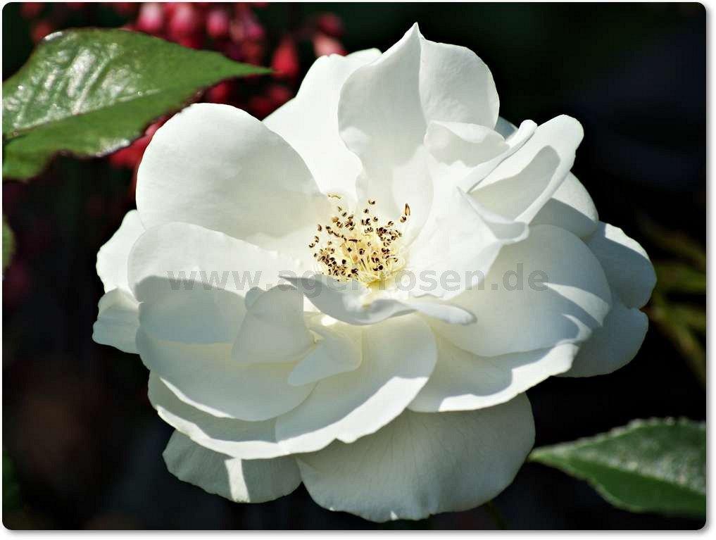 schneewittchen strauchrose kaufen bei agel rosen. Black Bedroom Furniture Sets. Home Design Ideas