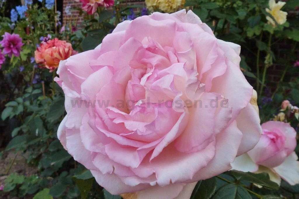 rose biedermeier online kaufen agel rosen. Black Bedroom Furniture Sets. Home Design Ideas
