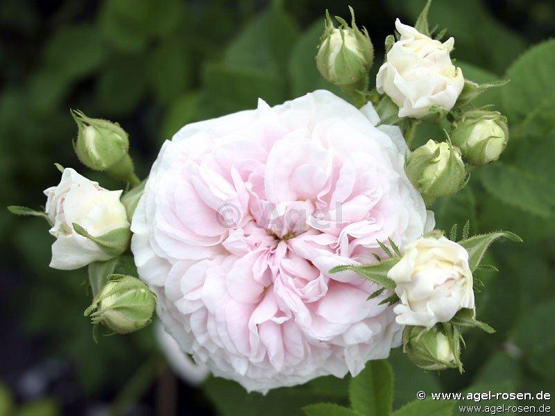 f licit parmentier alba rose buy at agel rosen. Black Bedroom Furniture Sets. Home Design Ideas