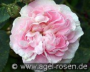 Great Maiden's Blush (Alba Rose)