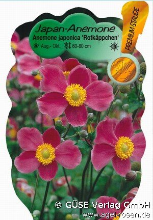 Buy Japan Herbst Anemone Online At Agel Rosen Anemone Japonica