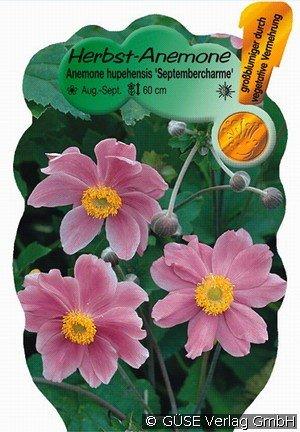Herbst Anemone Bei Agel Rosen Online Kaufen Anemone Hupehensis