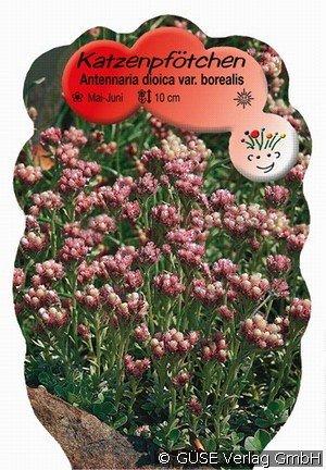 katzenpf tchen bei agel rosen online kaufen antennaria. Black Bedroom Furniture Sets. Home Design Ideas