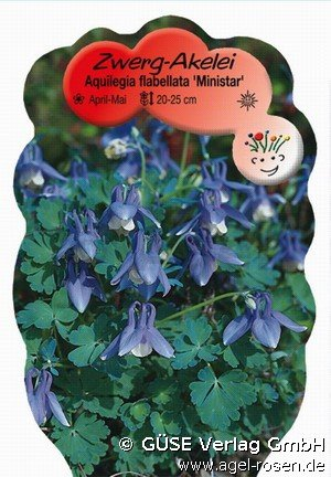 Zwerg-Akelei bei AGEL ROSEN kaufen (Aquilegia Flabellata