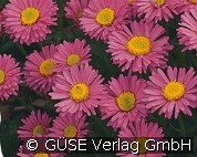 Alpen-Aster (Aster alpinus 'Happy End')