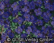 Blaukissen Kitty (Aubrieta Hybride 'Kitty' ('Kitte'))