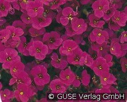 Blaukissen (Aubrieta Hybride 'Red Carpet')