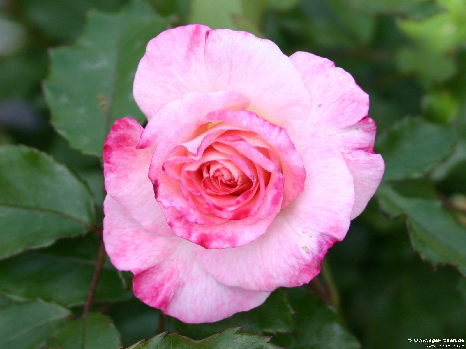 rose abigaile online kaufen agel rosen. Black Bedroom Furniture Sets. Home Design Ideas