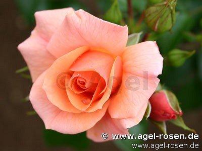 aprikola beetrose kaufen bei agel rosen. Black Bedroom Furniture Sets. Home Design Ideas