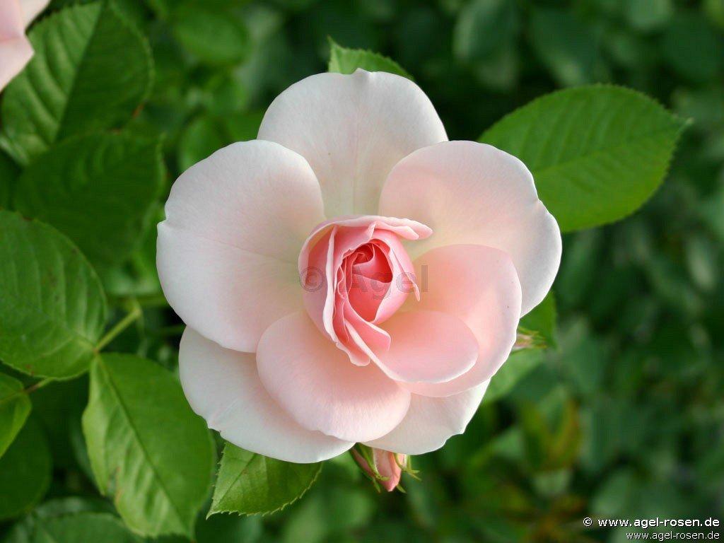 astrid lindgren beetrose kaufen bei agel rosen. Black Bedroom Furniture Sets. Home Design Ideas