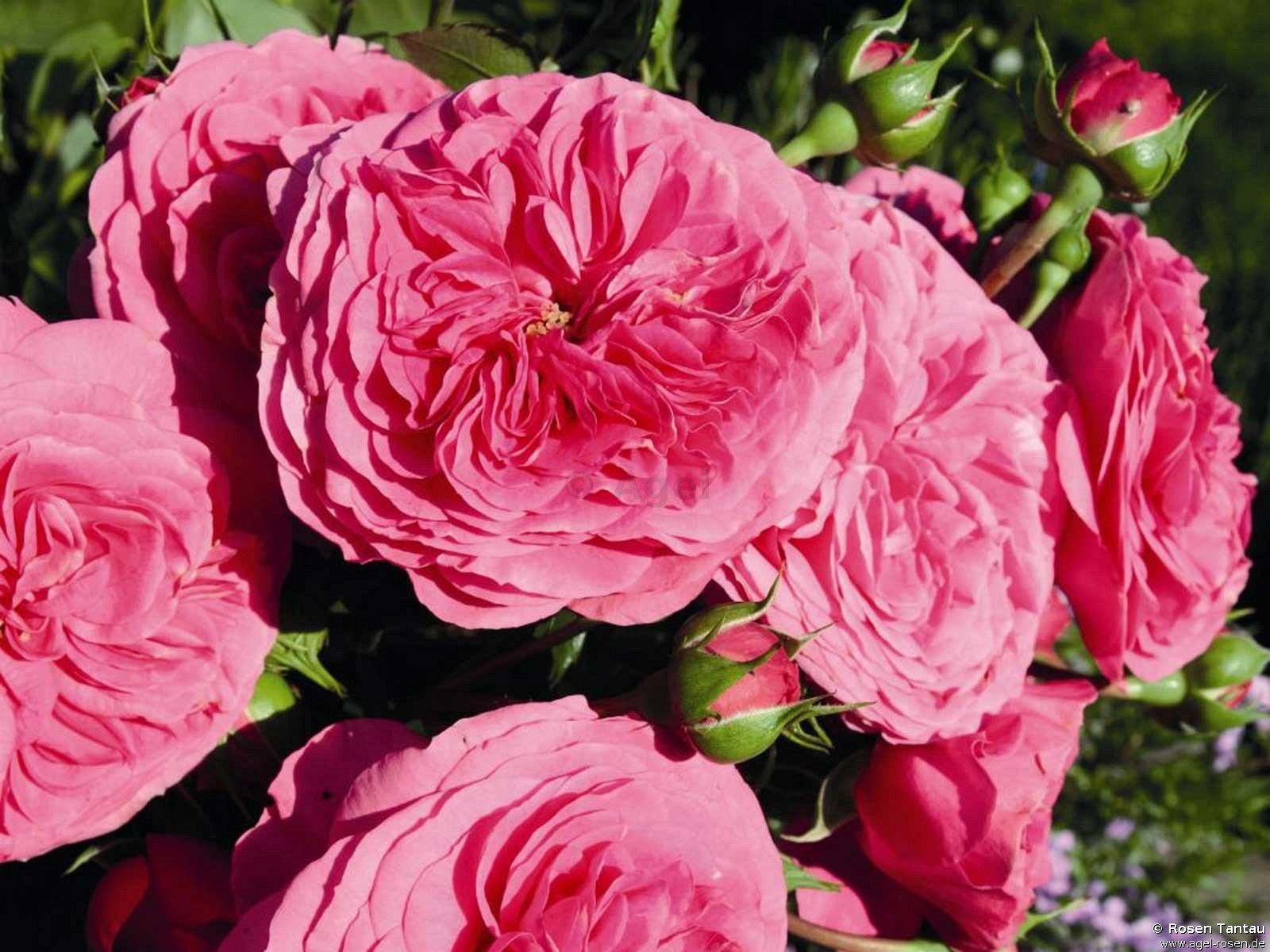 baronesse beetrose kaufen bei agel rosen. Black Bedroom Furniture Sets. Home Design Ideas