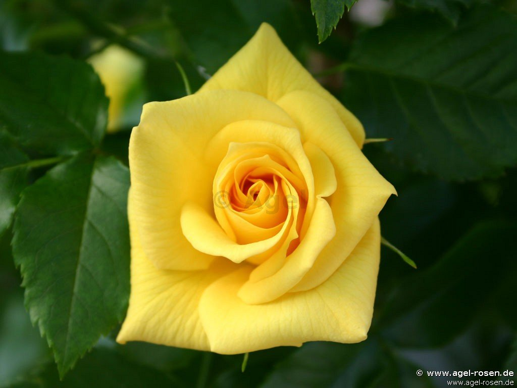 rose bayerngold online kaufen agel rosen 5 liter topf containerrosen. Black Bedroom Furniture Sets. Home Design Ideas