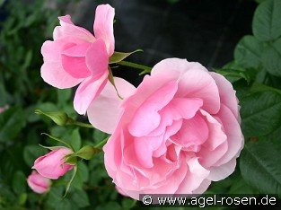 Bernd Weigel Rose