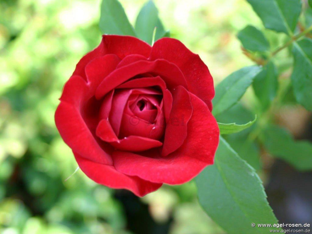 rose blickfang online kaufen agel rosen 5 liter topf. Black Bedroom Furniture Sets. Home Design Ideas
