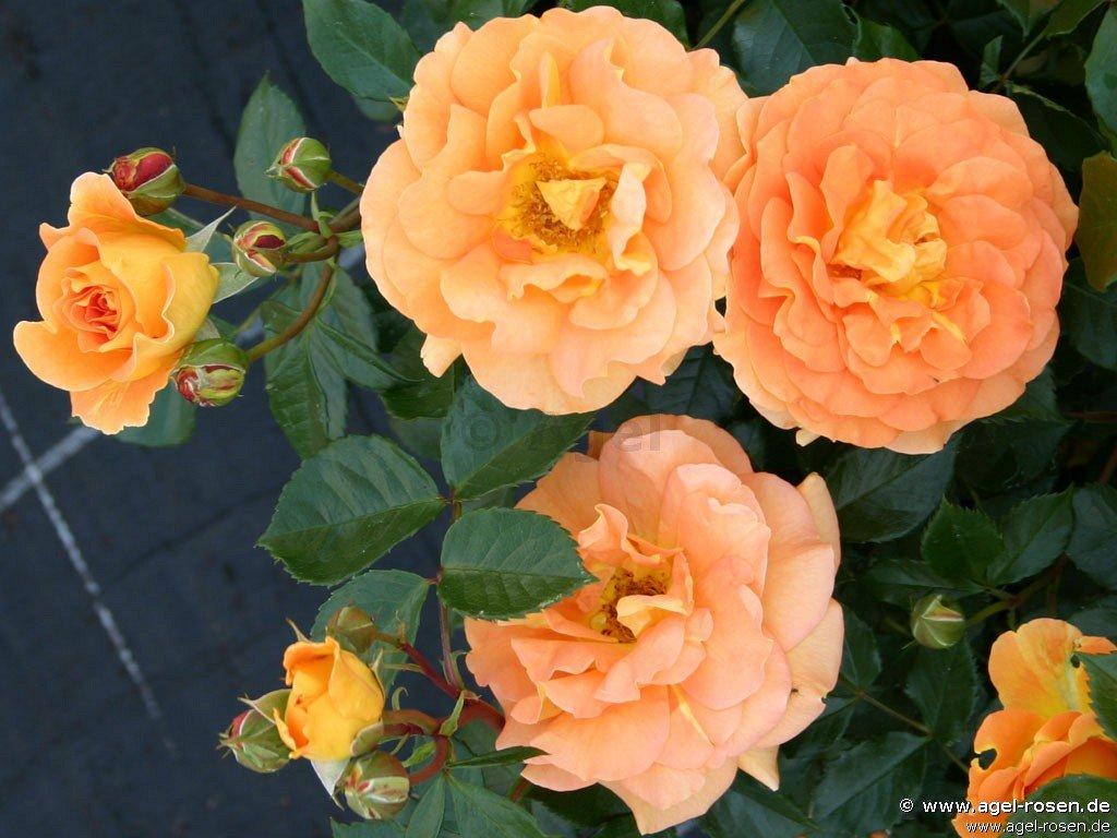 goldelse beetrose kaufen bei agel rosen. Black Bedroom Furniture Sets. Home Design Ideas