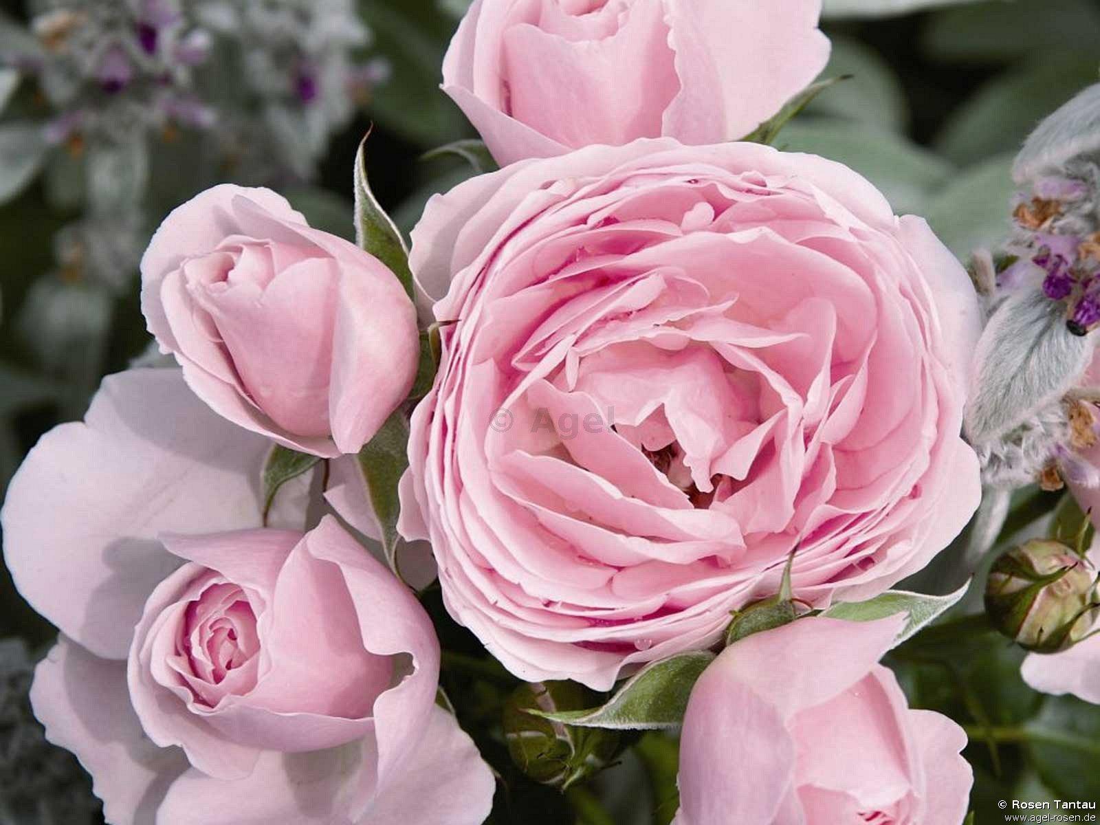 hans g newein beetrose kaufen bei agel rosen