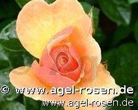 hansestadt rostock beetrose kaufen bei agel rosen